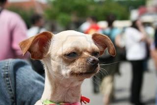 Chihuahua simpatico
