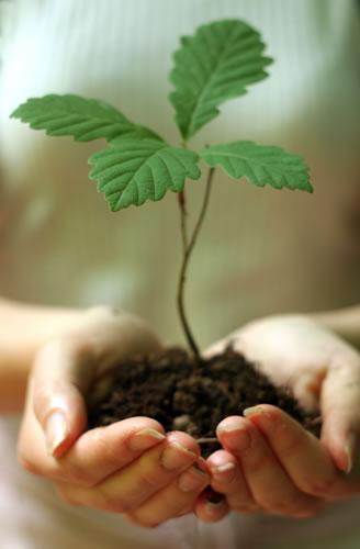 Mãos com carvalho a plantar