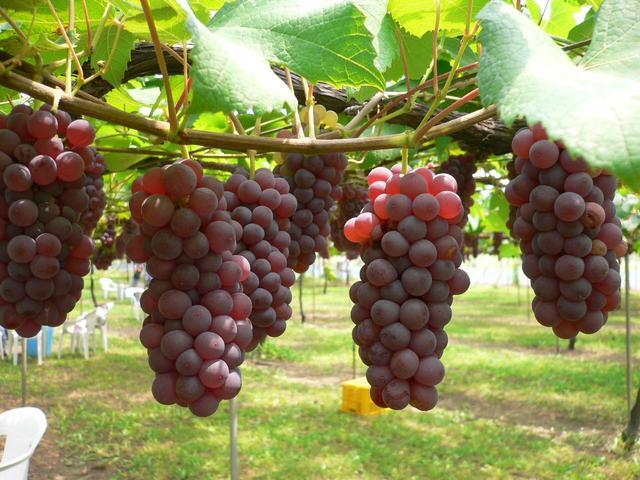 buah anggur gambar anggur gambar buah anggur gambar buah anggur