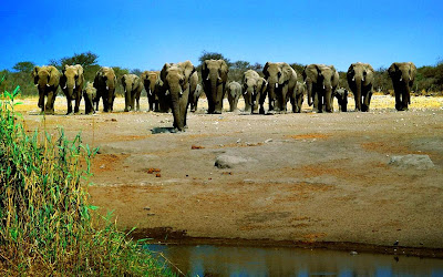 African Elephant Family drinking pound water