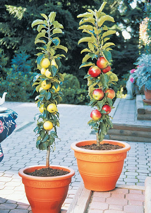 DWARF FRUIT ROOTSTOCK AND SAPLİNG