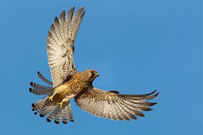 Cernícalo común en vuelo