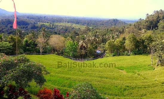 terraced paddy fields in Bali