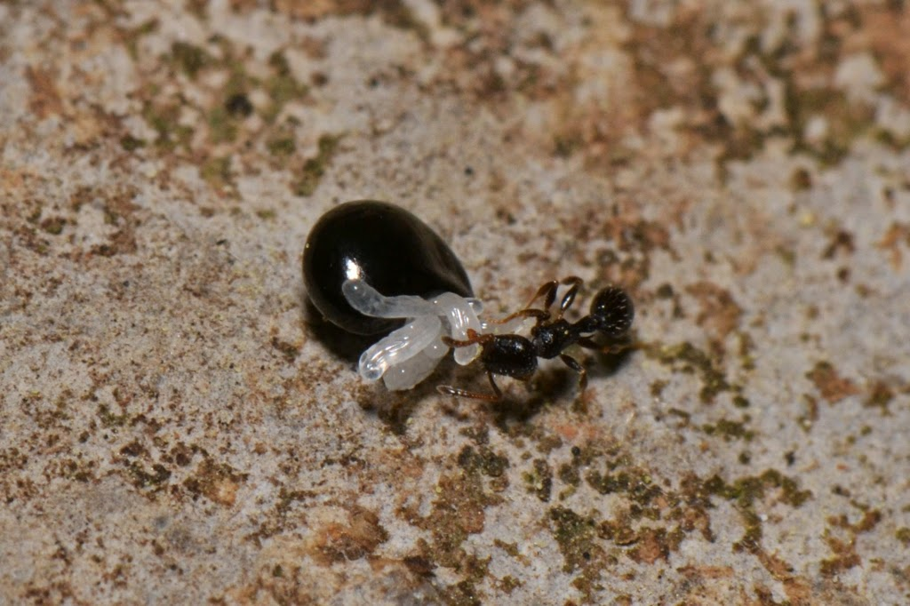 ant feeds on elaiosomes of Dutchman's Breeches seed