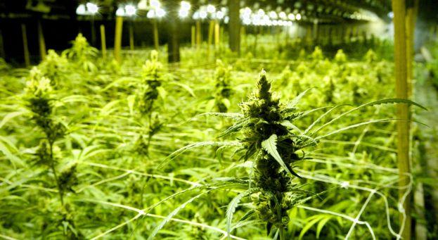 Les chroniques de rorschach le cannabis rem de anticrise for Cannabis plantation interieur
