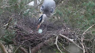 Heron nest with eggs