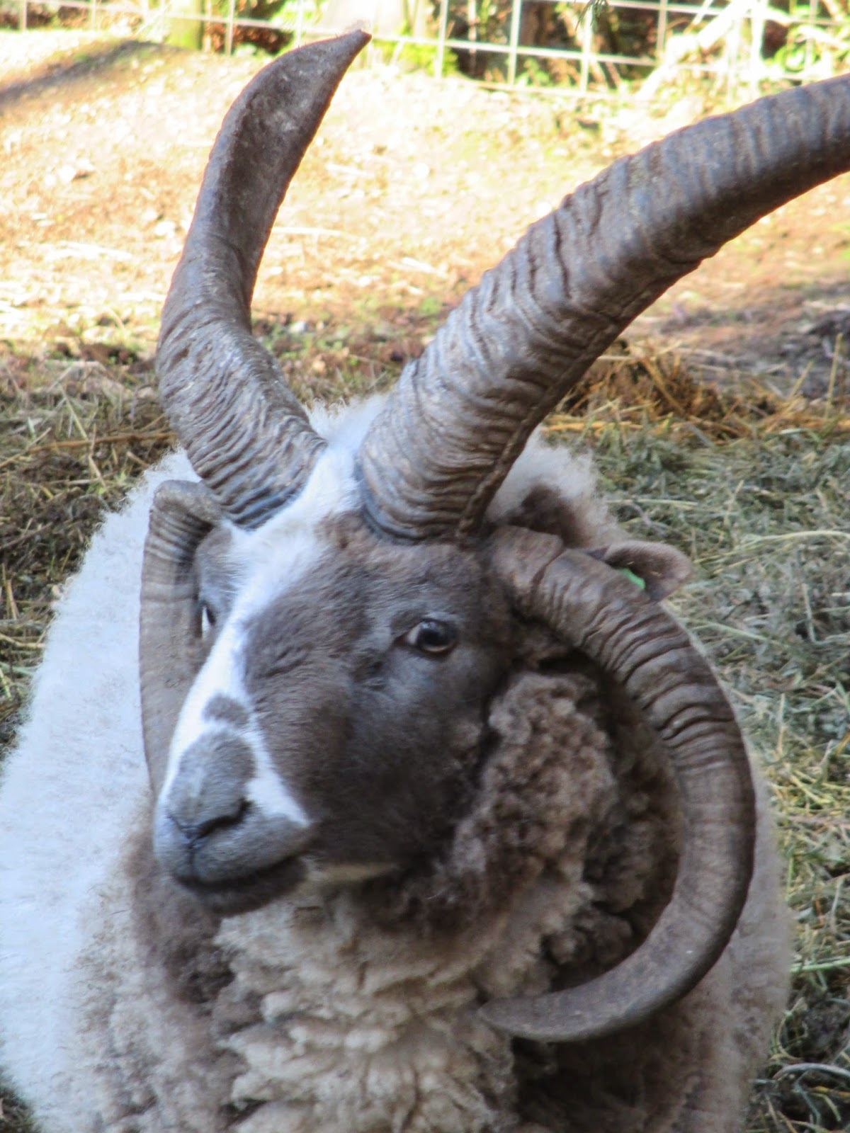 Sheep Horn For Sale 4 Horn Lilac Jacob Sheep