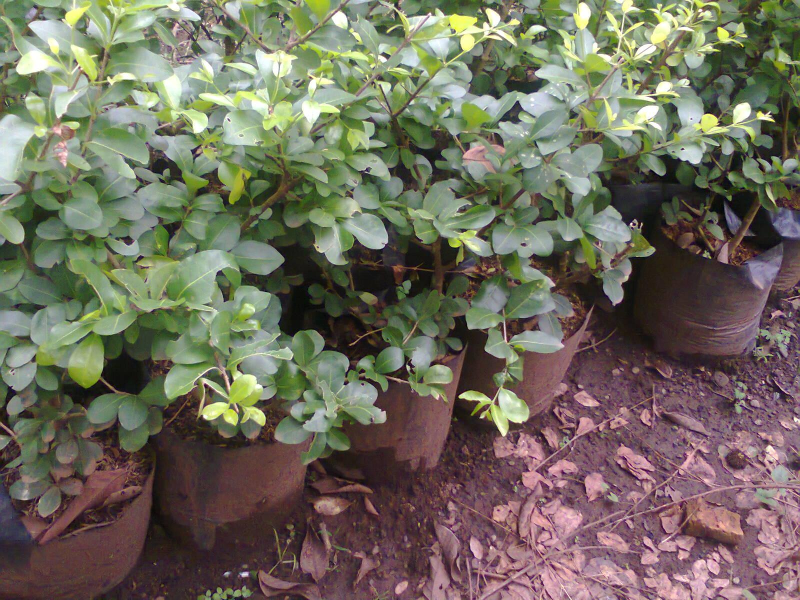 tanaman barbados chery