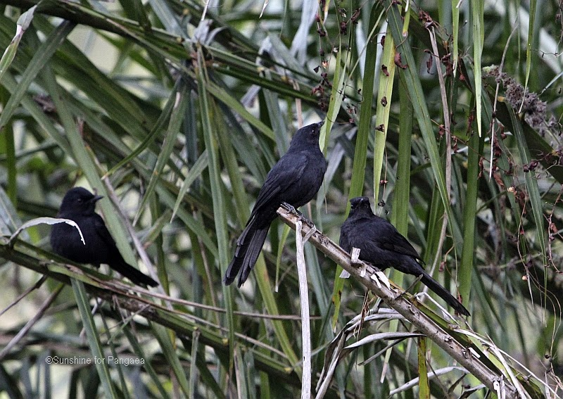 Northern Black Flycatchers  in the Abuko rice fields