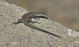 Podarcis hispanicus - Lagartija ibérica
