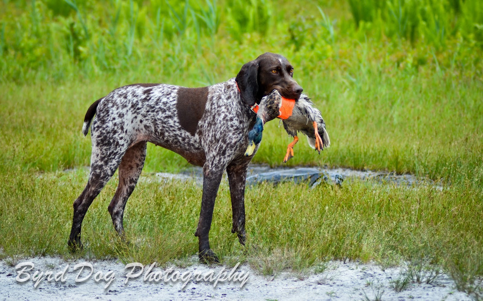 My GSP Aggie on a hunting trip She works out Dogs t