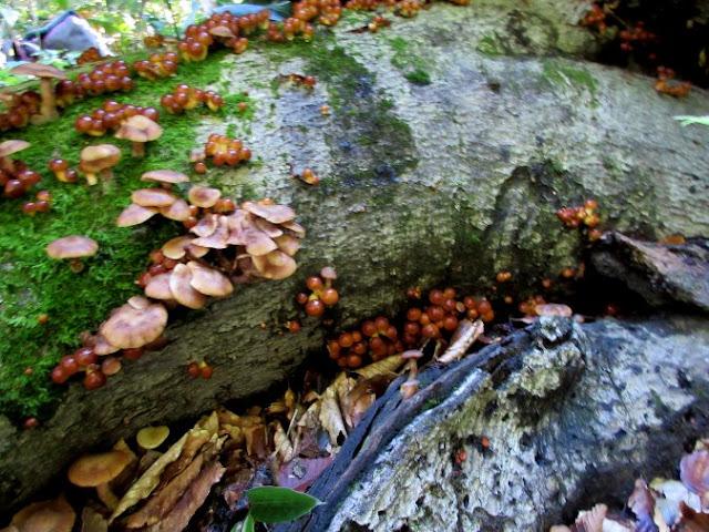 ナメコの幼菌