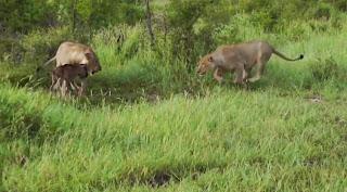 Un lion sauve un bébé gnou d'un autre lion