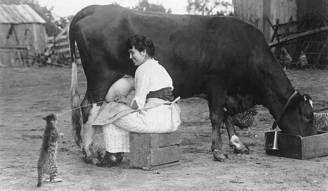 Woman milking a cow, State Agricultural College (now Colorado State ...