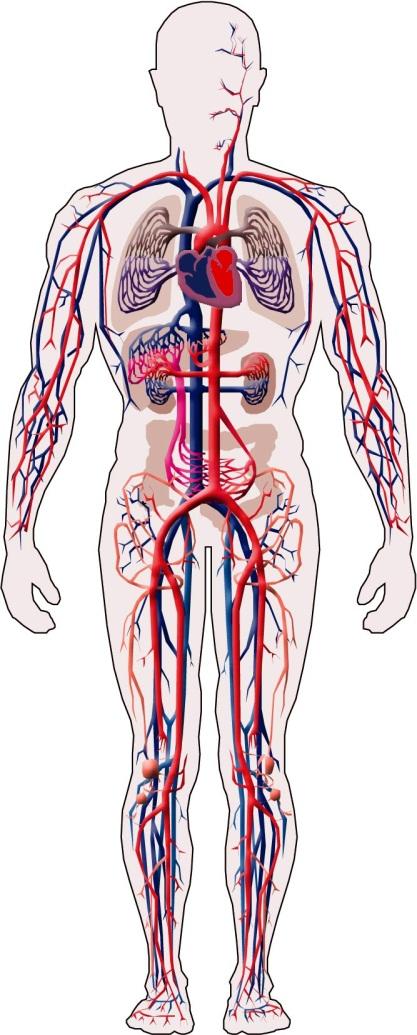 ANATOMIA, FISIOLOGIA Y EDUCACION PARA LA SALUD: Sistema circulatorio