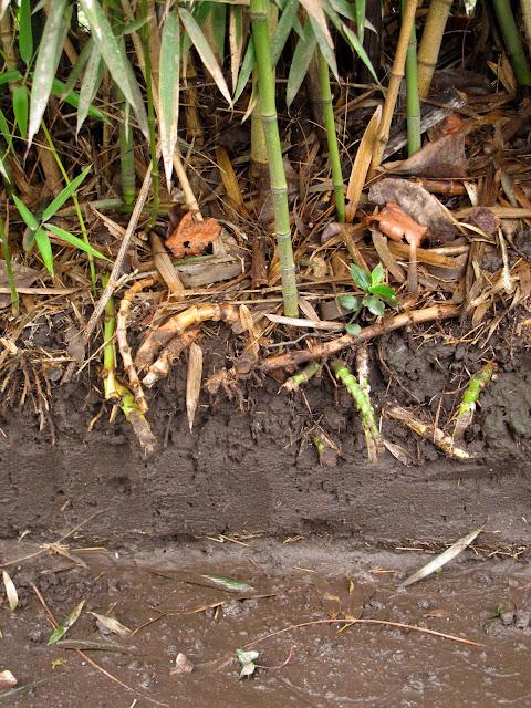 En el jardin ca a bamb plantar o no plantar - Reproduccion del bambu ...