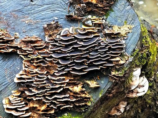 ciuperci muntii predealului
