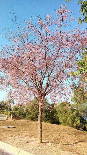 tengok gambar gambar pemandangan indah pokok bunga yang seakan akan ...
