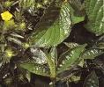 obat tradisional herbal sambung nyawa atau ngokilo