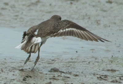 Temminck's Stint (Calidris temminckii)