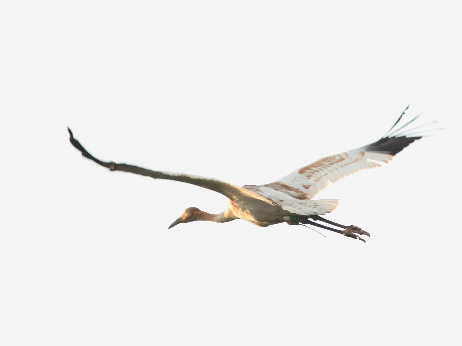 Birding Is Fun Unfortunate Whooping Crane Takes Trip To Disney World