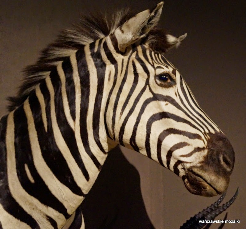 Łazienki Królewskie Warszawa zwierzęta polowanie zebra