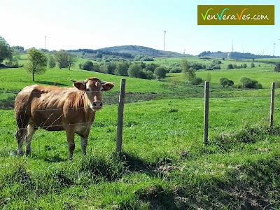 vaca nun cercado da campiña da serra do paramo