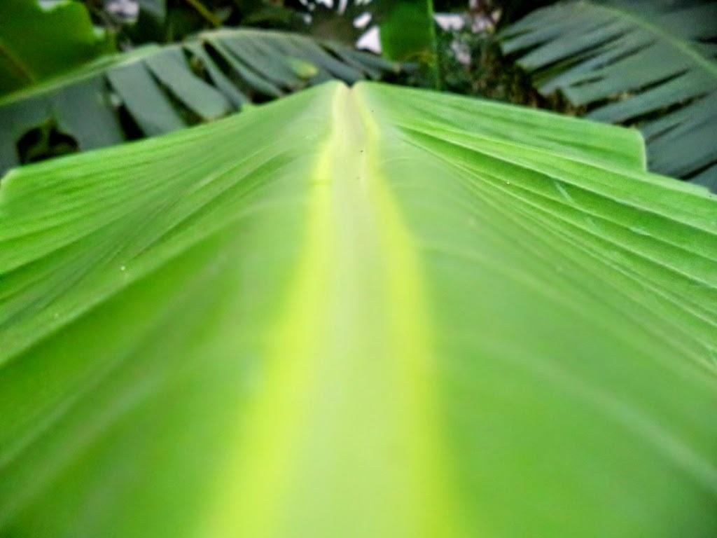 POV Banana Leaf