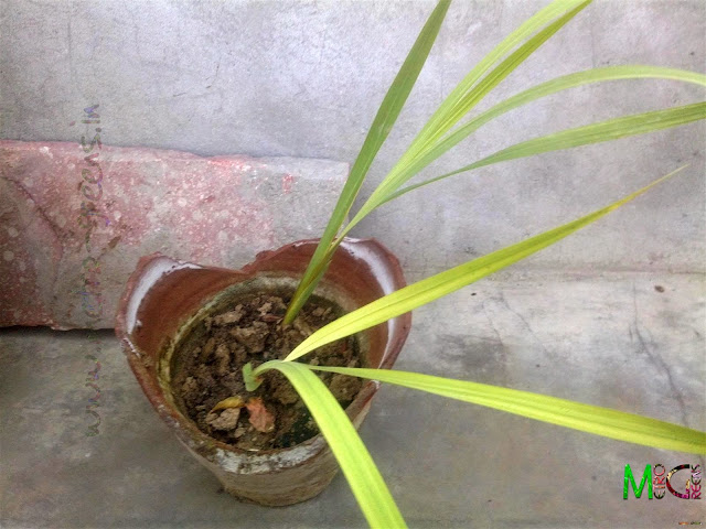 Metro Greens: Gladiolus
