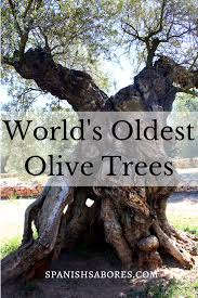 world oldest olive tree