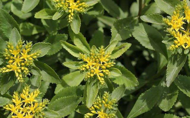 Sedum Aizoon Flowers Pictures