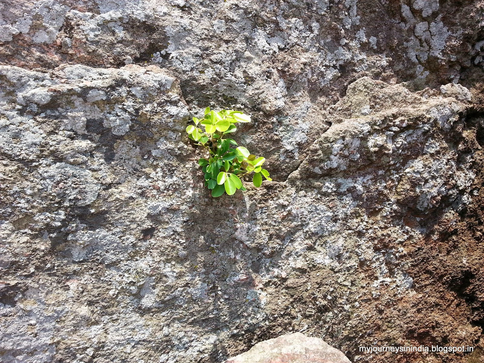 Trees growing on rocks - Shivagange