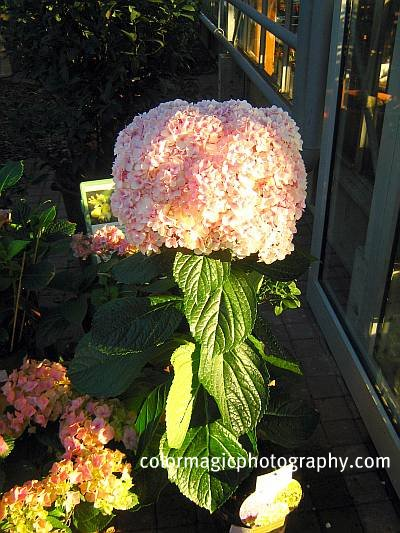Giant Hortensia plant