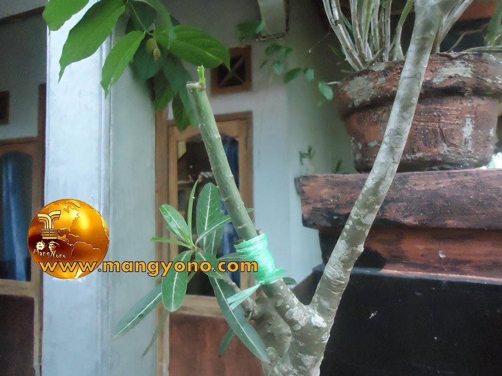 FOTO : Penyambungan Adenium / Kamboja Jepang di Pot terlihat dari dekat