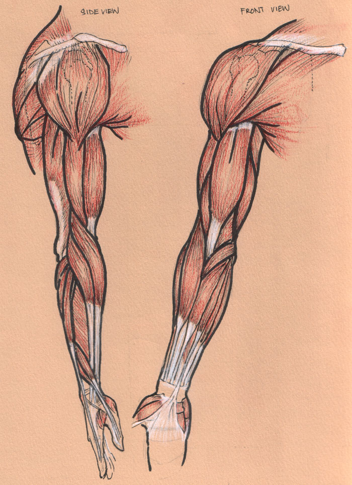 muscles of the human body flashcards by proprofs, Muscles