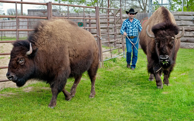 A couple in Texas shares their home with two bison, pet bison, buffalo whisperer, animal pictures, bison pictures