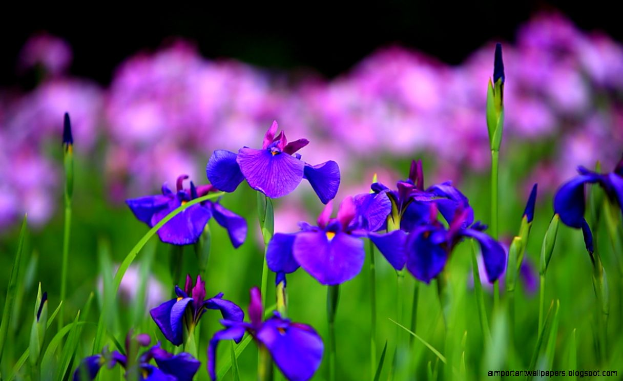 Purple Iris Flower Wallpaper
