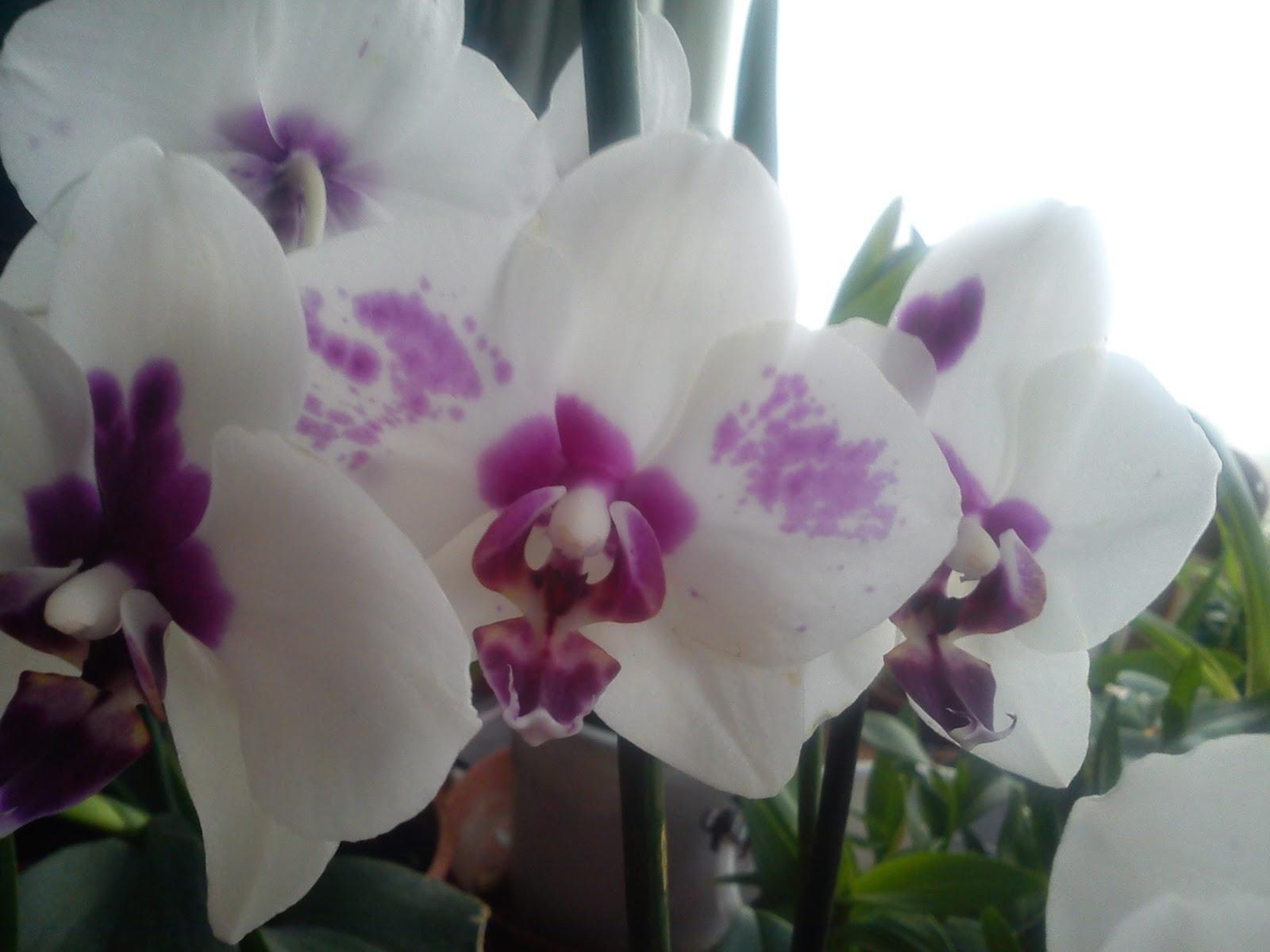 les orchid es bucoliques princesses vertes et autres diablotins une phalaenopsis d. Black Bedroom Furniture Sets. Home Design Ideas