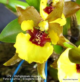 Alatiglossum croesus, Kleberiella croesus , Oncidium longipes