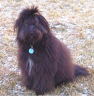 Gambar Anjing Lowchen