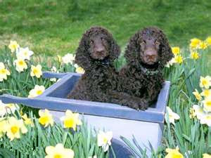American Water Spaniel Puppy Picture
