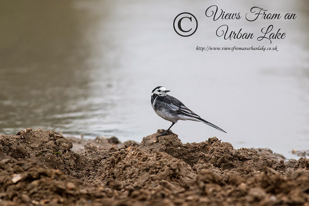 Pied Wagtail in Wolverton Mill area (small pond