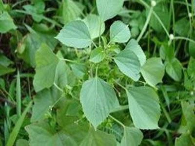Anting Anting Acalypha Australis Linn Mahkota Herbal