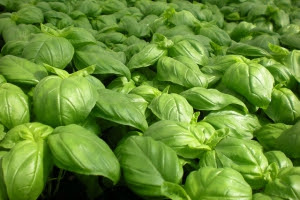 Five Ways to Use Basil Essential Oil