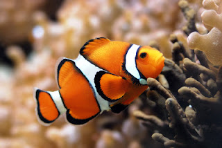 ikan hias air asin : Clownfish