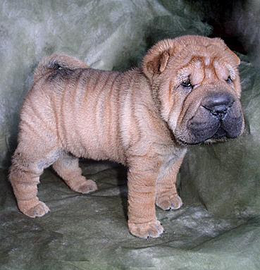 Shar Pei Puppy Pictures