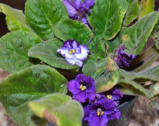 Planta ornamental violeta com flores