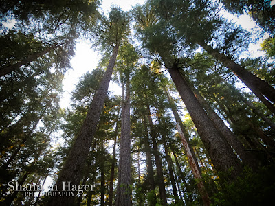 Shannon Hager Photography, Forest, Tall Trees