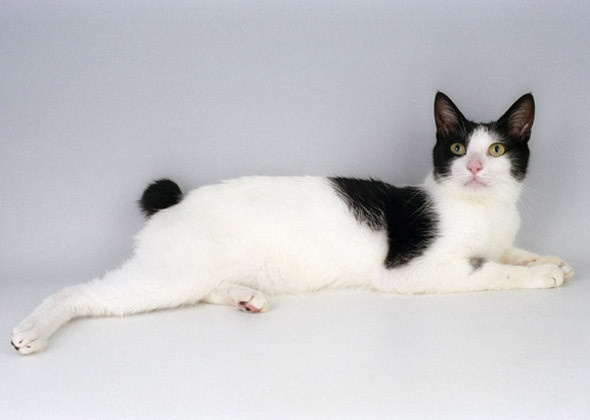 Health problems in Japanese Bobtail
