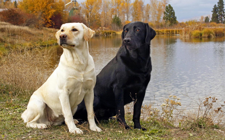 Labrador Retriever Dog...